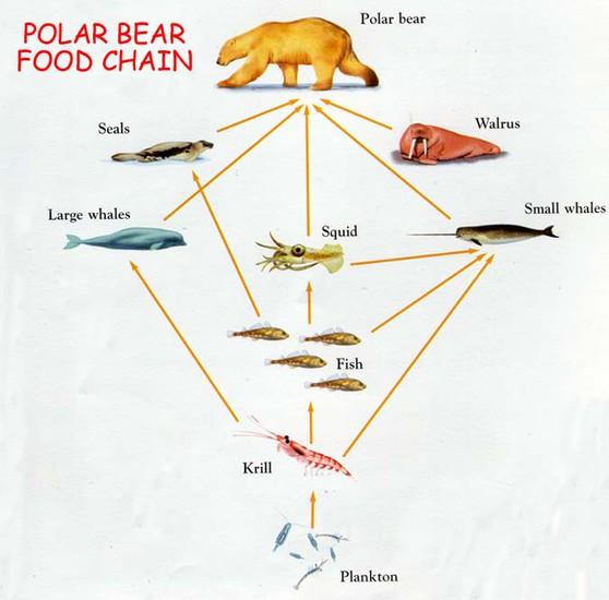Polar Bear Food Chain For Kids