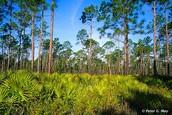 Pine Flatwood