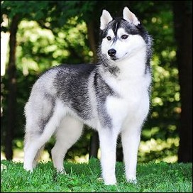 hubble huskies profile pic