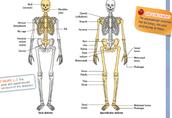 Bones in this system...