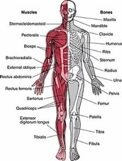 how the skeletal system maintains homeostasis