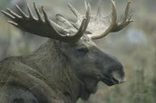 sweden has moose