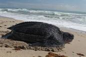 the adult of leatherbacks
