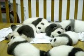 Panda cubs in nursery