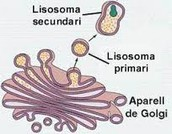 lisosomes