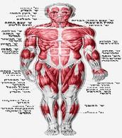 האם גוף האדם יכול לתפקד בצורה תקינה ללא המערכת השלד והשרירים?