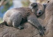 Bedtime Koalas!!