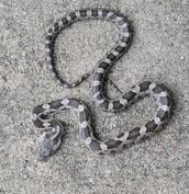rat snake #2