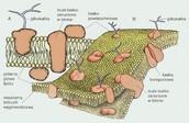 Błona komórkowa