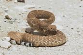 Desert rattlesnake