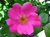 Domain Eukarya - Rosa acicularis