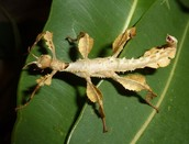 Male Spiny leaf