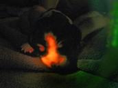 Ruppy, or Ruby Puppy