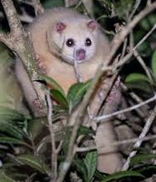 Rare White Possum