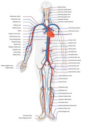 Tracing the flow of blood through the body.