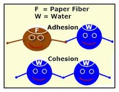 Adhesion and Cohesion.
