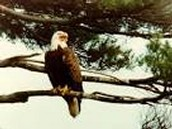 Bald Eagle sitting on a branch.