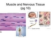 Nerve/Muscle Tissue