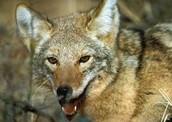 Pet coyote