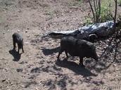 Komodo Dragon food