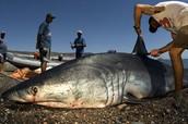 Mako shark getting finned