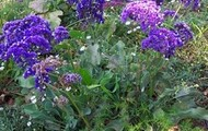 Sea Lavender (Limonium Nashii)