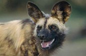 Why African Wild Dogs are Endangered