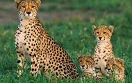 why are Cheetahs endangered animals