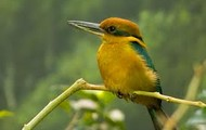 Micronesian King Fisher