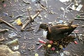 Duck in Pollution