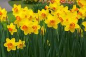 8.Daffodil