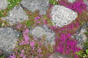 Timjan trivs bra mellan Torstens anlagda stengångar och naturliga klippskrevor.