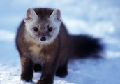 Animals that live in the Taiga