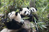 panda with his family