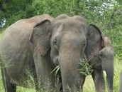 Elephants are plant eaters