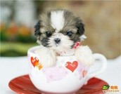 This is the tea cup dog