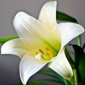 Lily Orders Now being accepted until Sunday, March 22