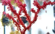 Red Grape Algae