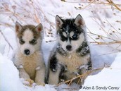 A little huskies puppies