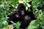 Mendiko gorila