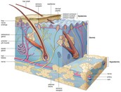 The skin and nerve receptors