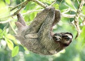 Sloth and its baby