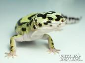 Geckos-leopardo Eublepharis macularius