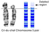 Chromosme pair 5