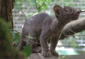 a baby fossa eating