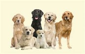 All the different Golden Retriever colors