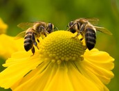 Bees keep our economy humming