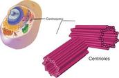 Centrioles