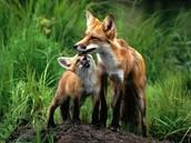 Лиса и лисёнок
