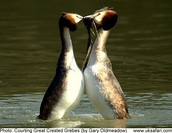 Great Crested Grebes Courtship Dance
